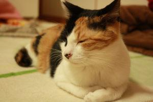 眠そうにしている三毛猫の香箱座り
