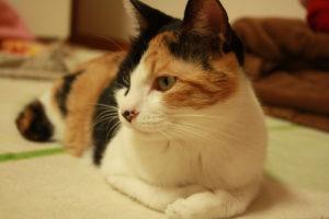三毛猫の香箱座り、ちょっと斜め気味