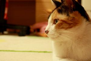 三毛猫の横顔