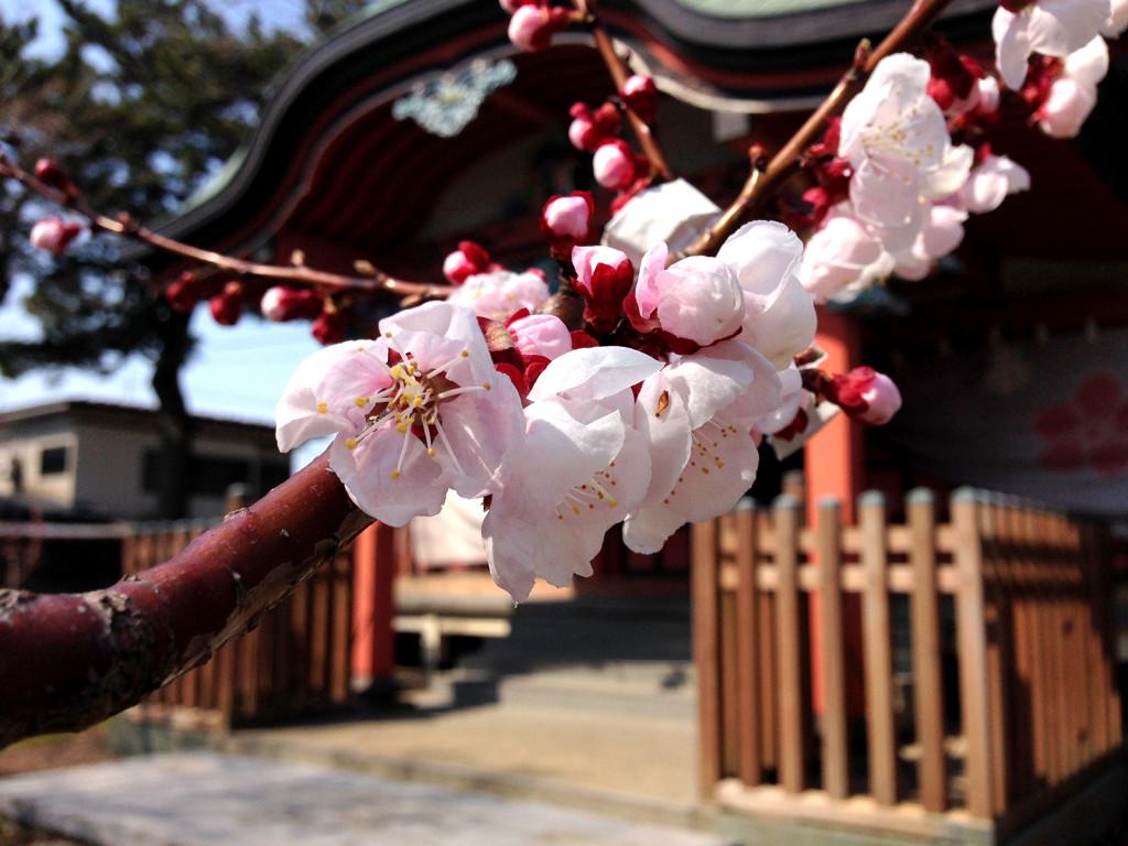 梅の花と神社_03