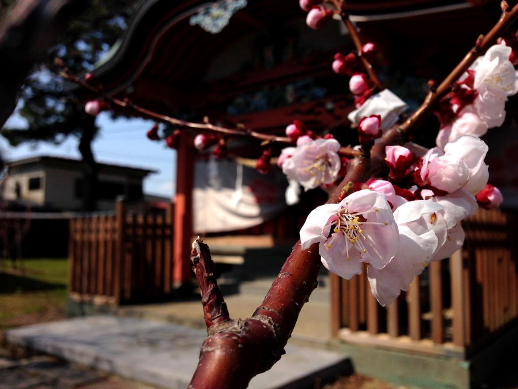 菅原神社の梅2014_04