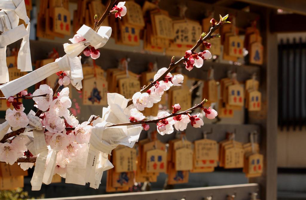 菅原神社の梅2014_09