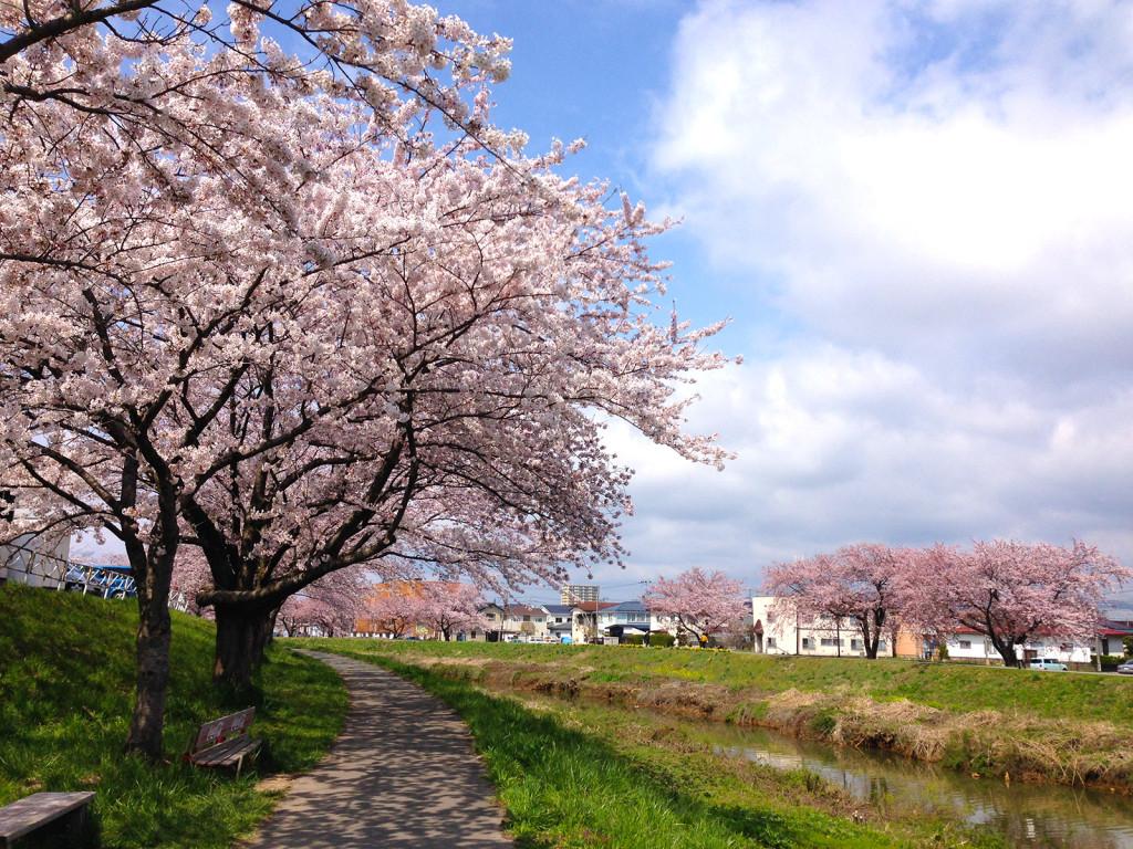 草生津川の桜2014-1