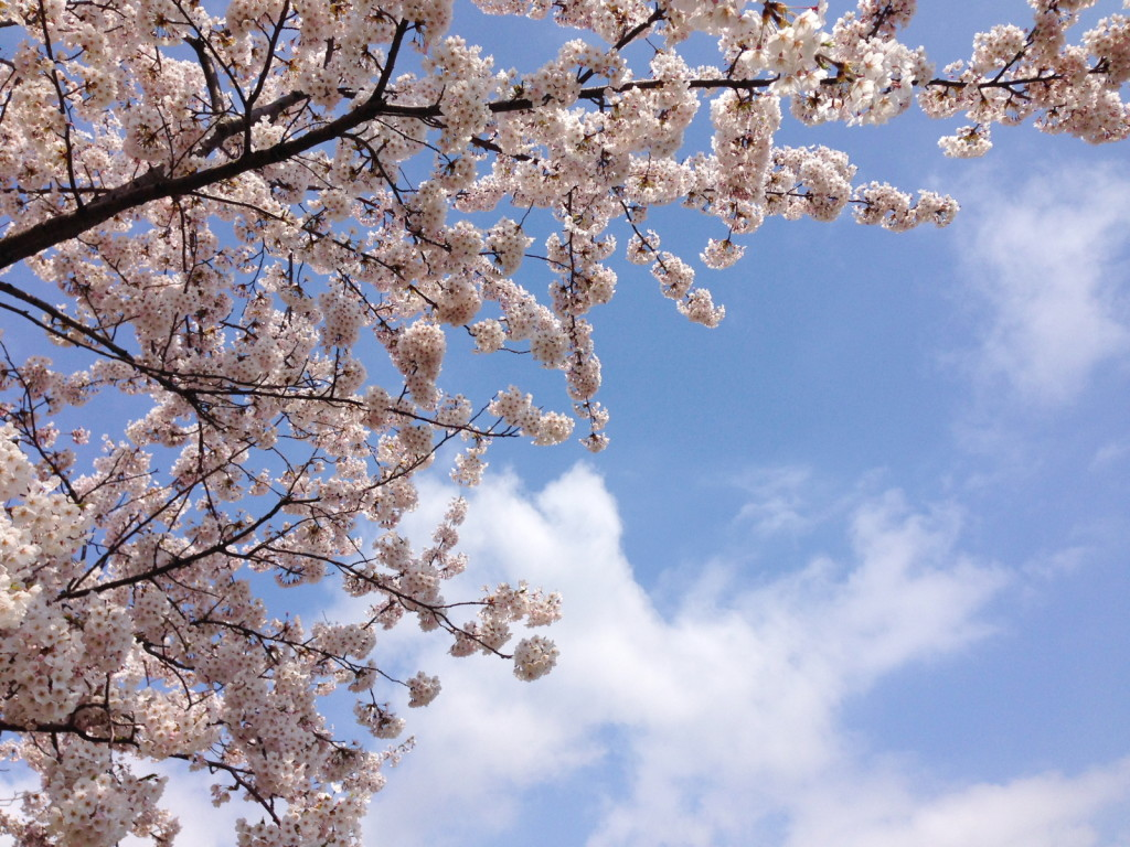 草生津川の桜2014-2