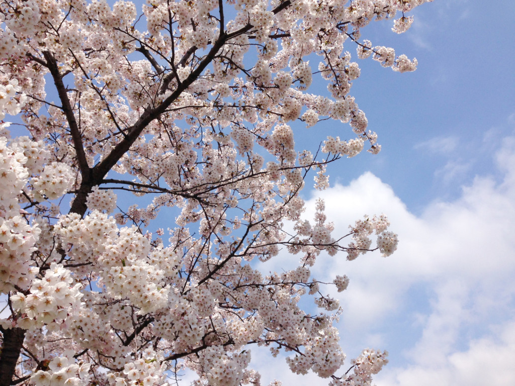 草生津川の桜2014-3