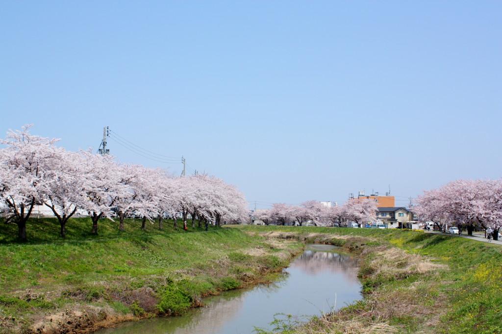 草生津川の桜2014-01