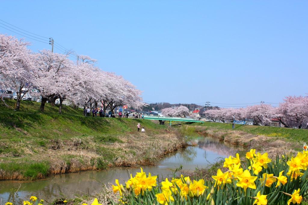 草生津川の桜2014-02