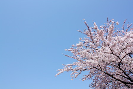 草生津川の桜2014-03