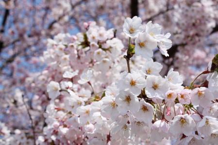 草生津川の桜2014-04