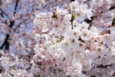 草生津川の桜2014-05