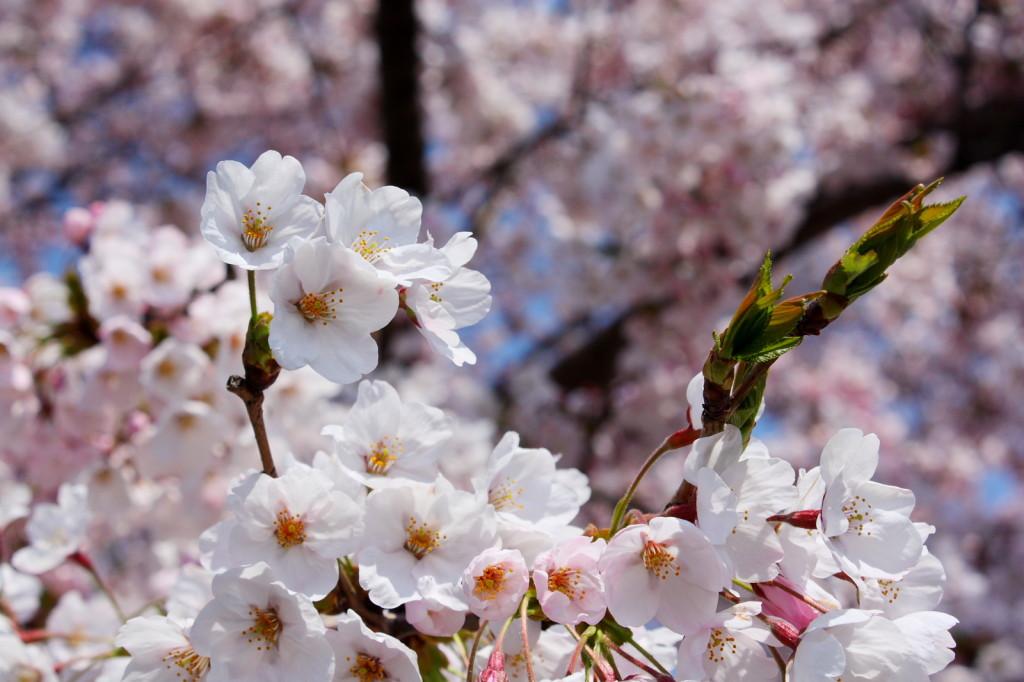 草生津川の桜2014-06