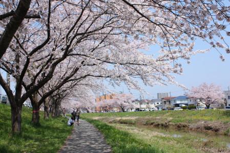 草生津川の桜2014-07