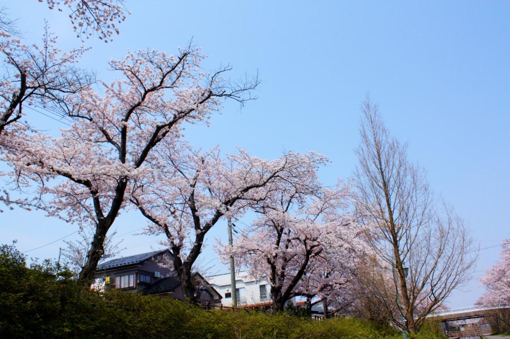 秋田市新屋の桜並木(大川端帯状近隣公園)2014_04
