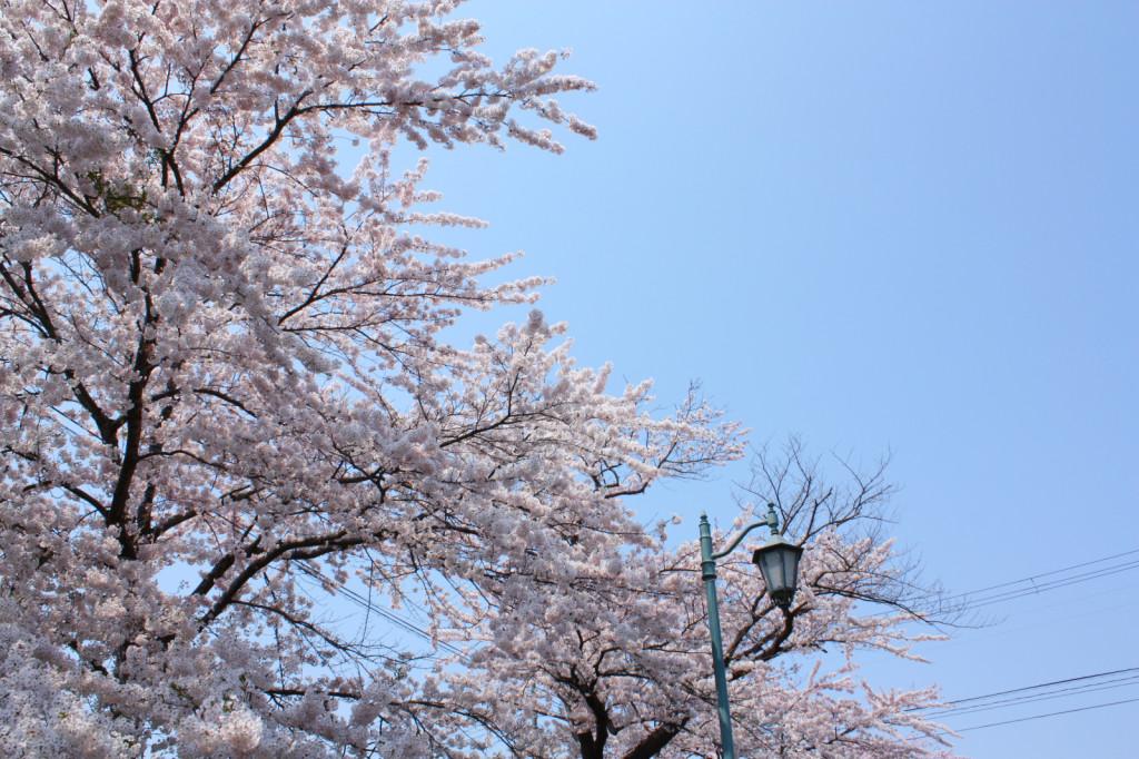 秋田市新屋の桜並木(大川端帯状近隣公園)2014_05