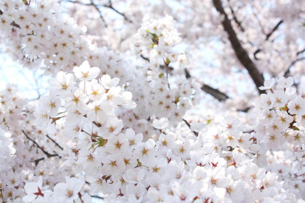 秋田市新屋の桜並木(大川端帯状近隣公園)2014_07
