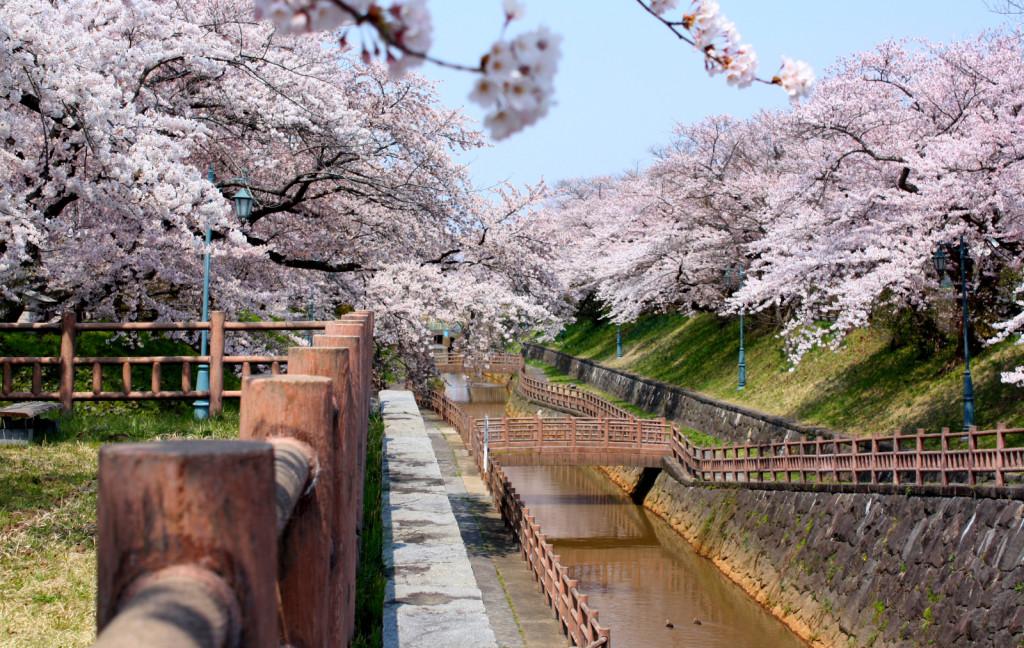 秋田市新屋の桜並木(大川端帯状近隣公園)2014_09