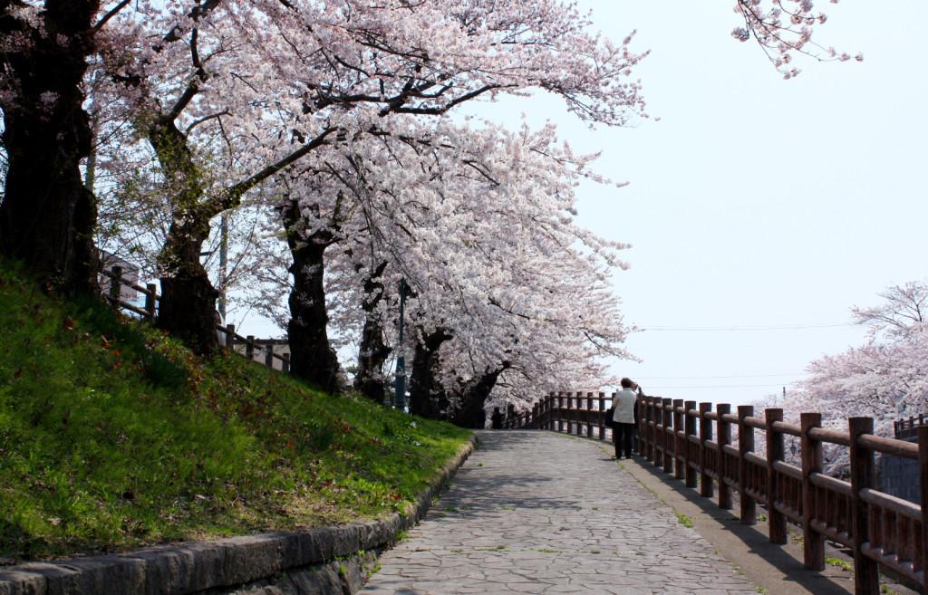 秋田市新屋の桜並木(大川端帯状近隣公園)2014_10