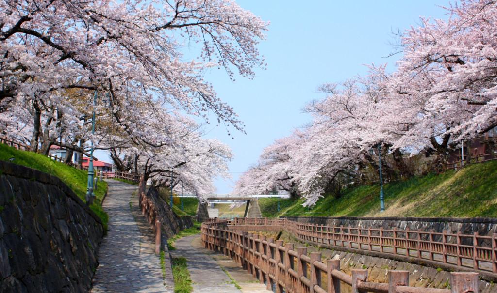 秋田市新屋の桜並木(大川端帯状近隣公園)2014_11