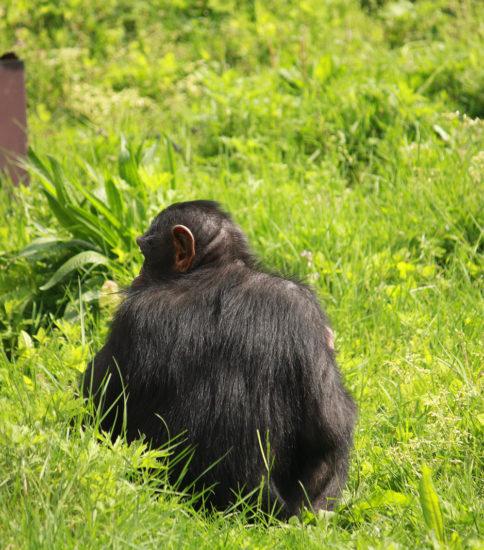 チンパンジーの背中