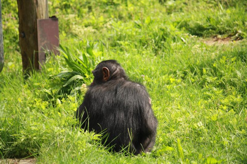 軽くチラ見してるチンパンジー