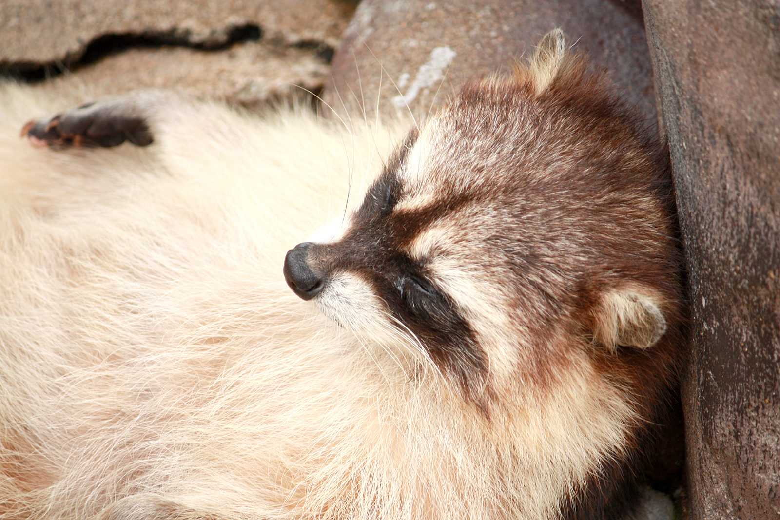 昼寝中のアライグマの顔アップ01