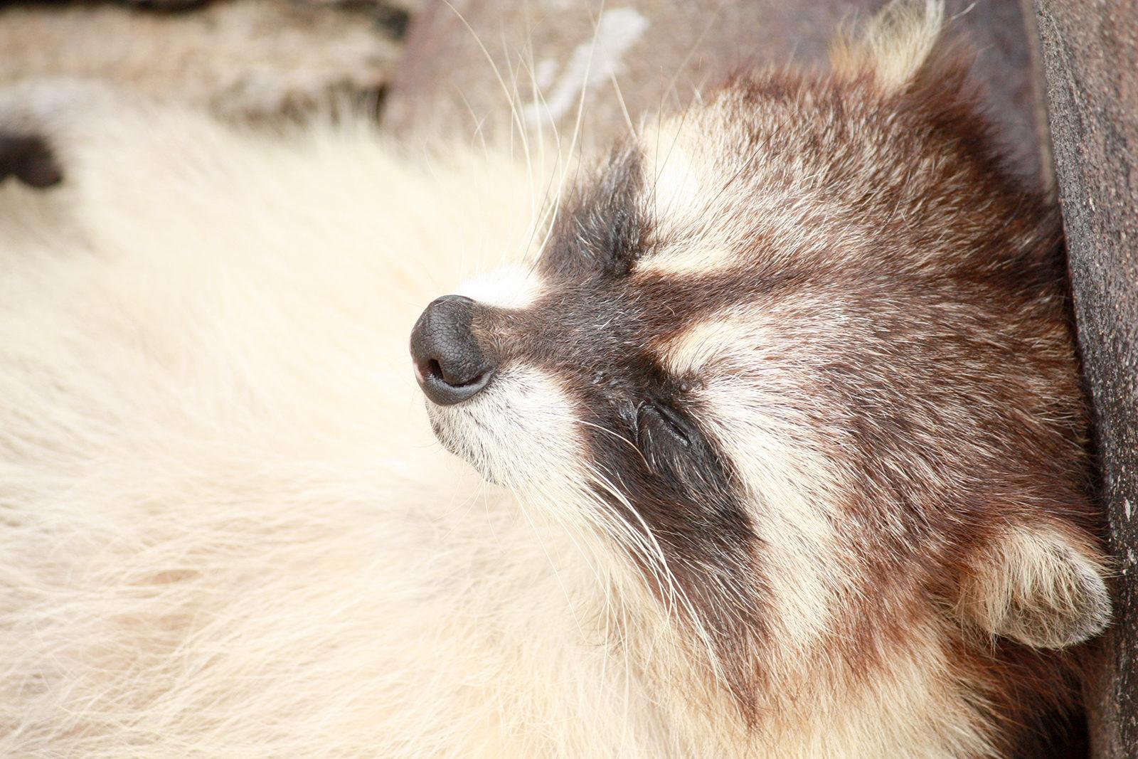 昼寝中のアライグマの顔アップ02