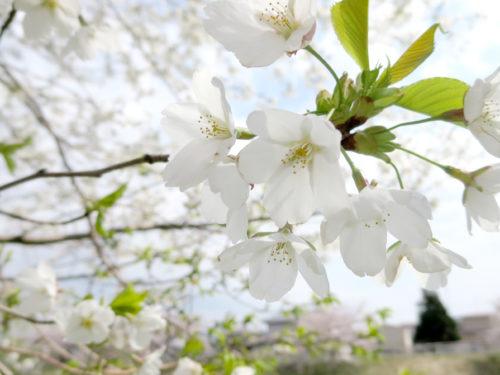 太平川の桜2017_01