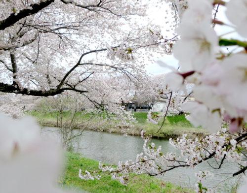 太平川の桜2017_02