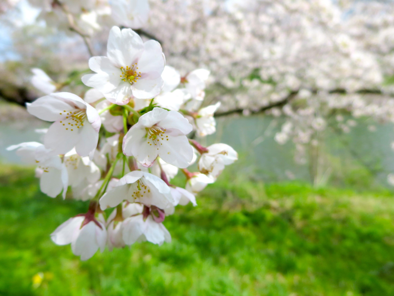 太平川の桜2017_03