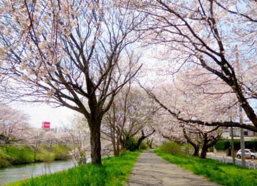 太平川の桜2017_04