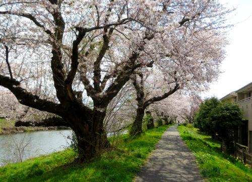 太平川の桜2017_05