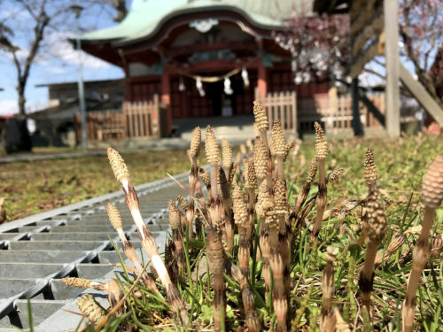 菅原神社のつくし2019_05
