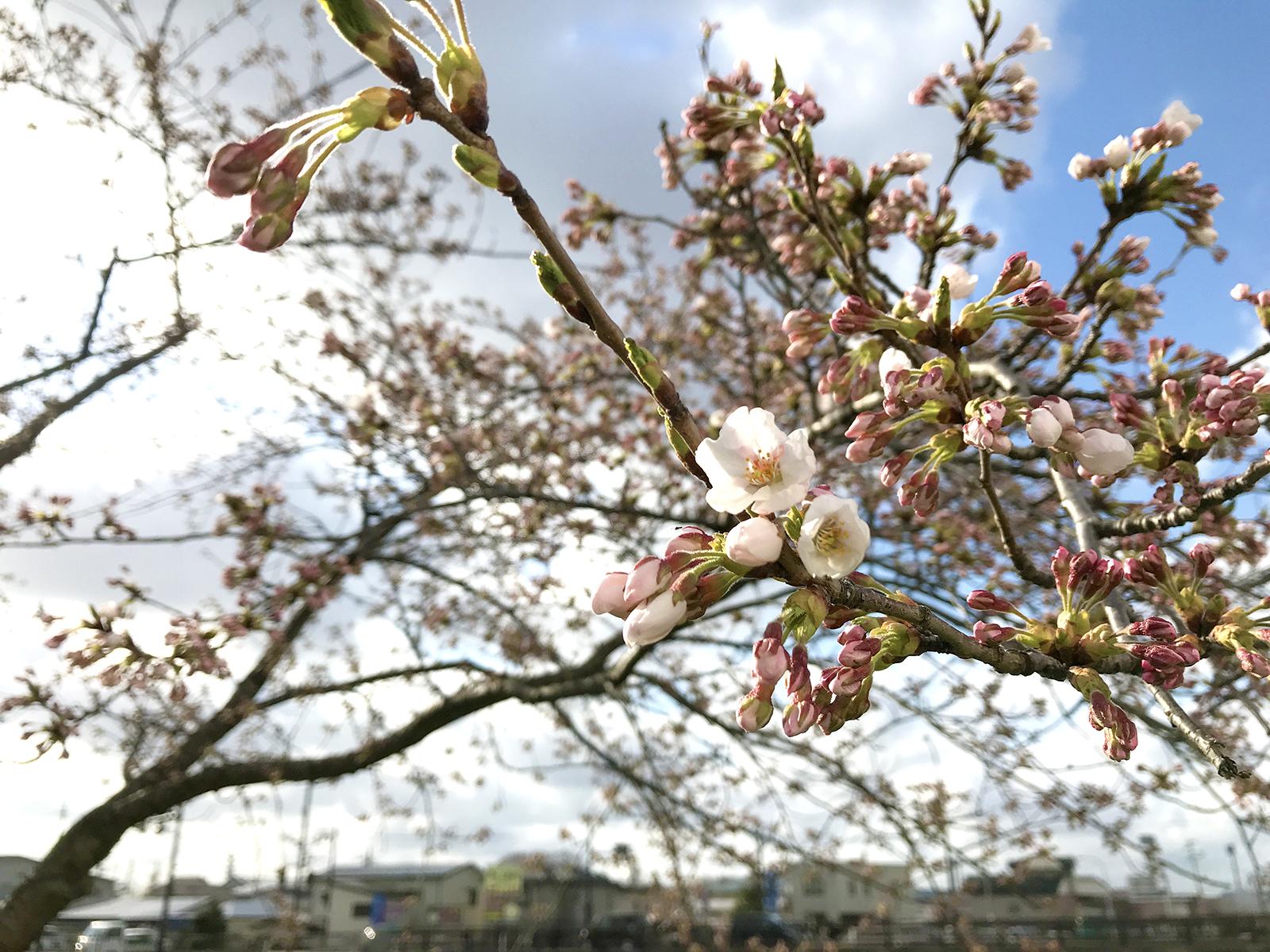 咲き始めの桜01