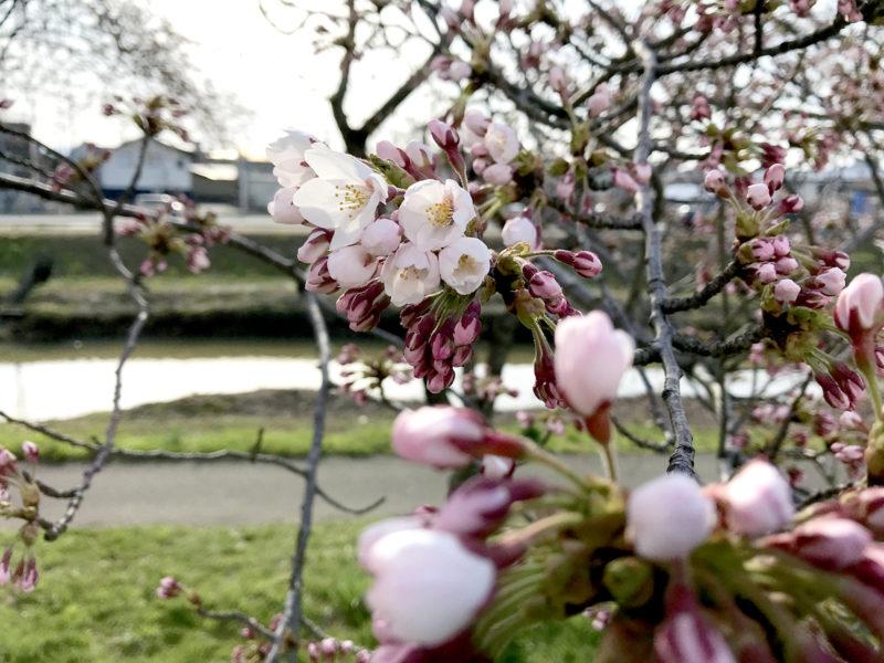 咲き始めの桜02